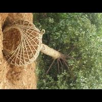 精品香樟树发往湖北黄陂和孝感与鄂州