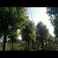 2米8扫尾香樟树@2米8扫尾香樟树批发价格,
