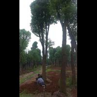 自己香樟香樟树基地,香樟香樟树苗圃照片