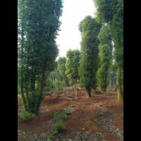 本香樟树基地专人负责管理,所有香樟树质优价廉