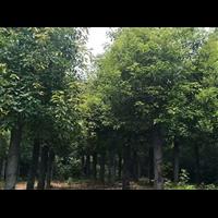 20公分移栽切杆精品香樟树照片价格