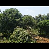 笼子自然冠桂花树漂亮基地