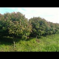 美丽的矮分枝笼子红叶石楠苗圃