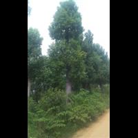 绿化专用香樟树[{国内批发}]香樟树选星程基地商家【价格从优】