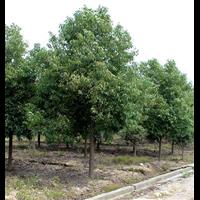 香樟树+二乔玉兰+合欢+樟树+红叶石南发星城望城坡