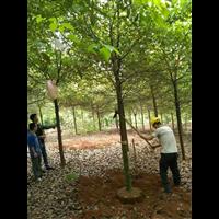 知名香樟树园林价格表
