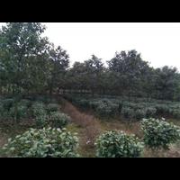 海量供应佳植各种优质ABC苗木香樟树