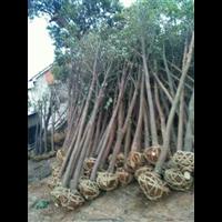 袋苗香樟树,容器苗香樟树,砖围苗香樟树,