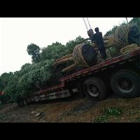 控根苗香樟树,控根苗香樟树基地,控根苗香樟树价格