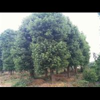 移栽大冠幅香樟树型好看,深受顾客青睐,畅销面积广