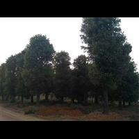 大蓬径移栽香樟树专为沿海地区而绿化设计价格不贵