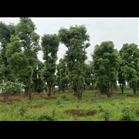 丛生大多杆香樟树基地+苗圃,丛生小多杆香樟树基地+苗圃