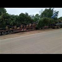 高效高成活率桂花树树批发价全国 供销