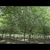 香樟+香樟树采购,星程园林价格便宜,交通方便