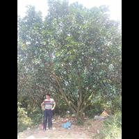 湖南香泡香源树闻名五湖四海,求购香泡香源树就来非凡