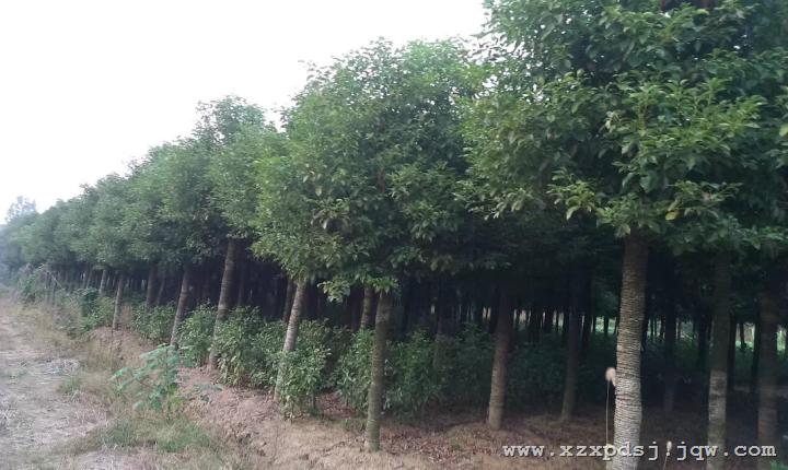 香樟香樟树长相外貌供应地方明介