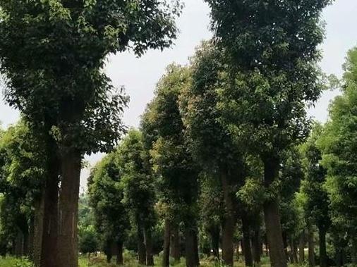 大量OK香樟树我们的推荐正是您的需求